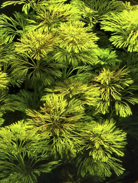 Image of Limnophila sessiliflora - buy Nature Aquarium Plants online