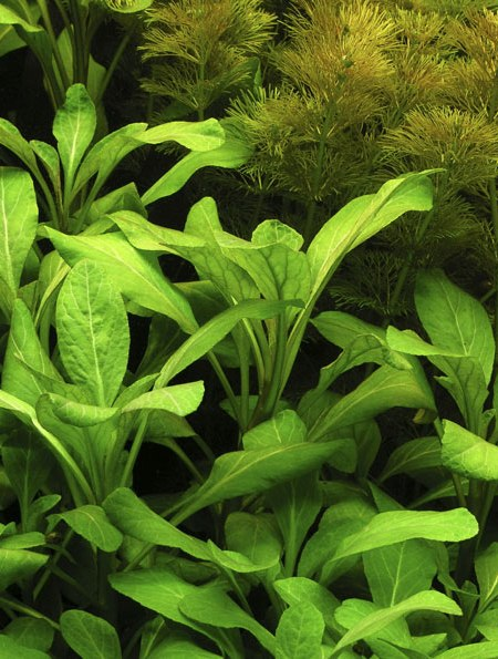 Image of Lobelia cardinalis - buy Nature Aquarium Plants online