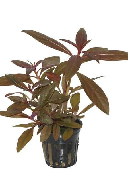 Image of Ludwigia glandulosa - buy Nature Aquarium Plants online