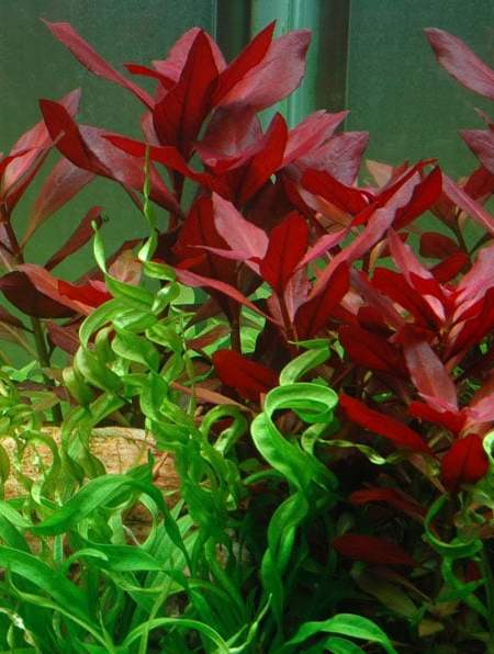 Image of Ludwigia repens 'Rubin' - buy Nature Aquarium Plants online