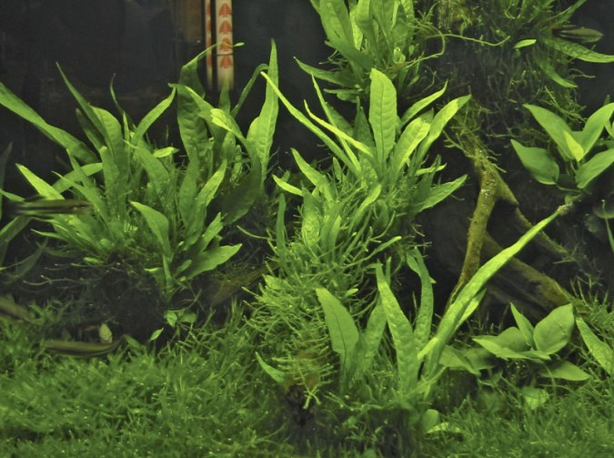 Image of Microsorum pteropus - buy Nature Aquarium Plants