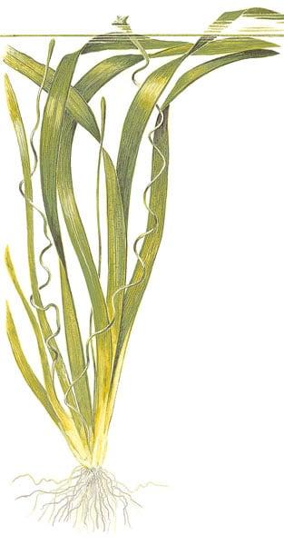 Vallisneria americana (gigantea)