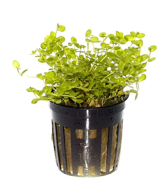 Image of Micranthemum umbrosum - buy Nature Aquarium Plant
