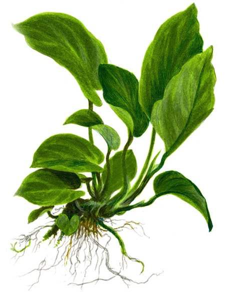 Anubias barteri var. caladiifolia '1705' XL - buy tropical aquarium plants onlin