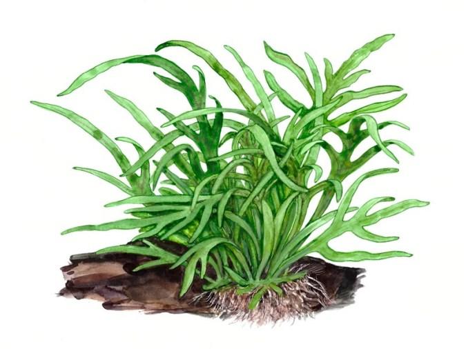 Microsorum pteropus 'Trident' - buy Nature Aquarium Plants