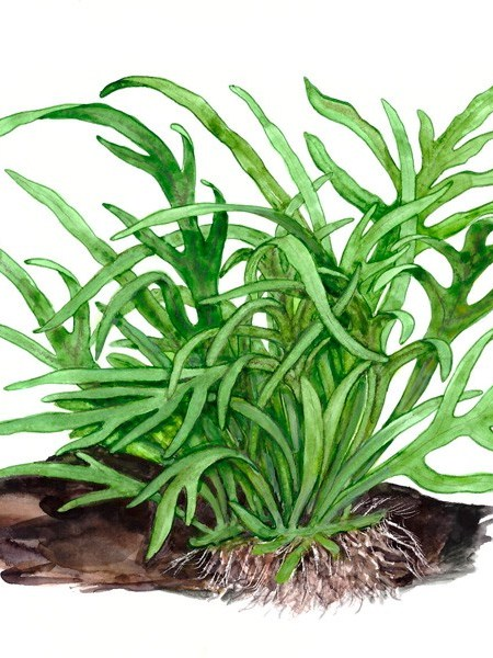 Microsorum pteropus 'Trident' - buy Nature Aquarium Plants