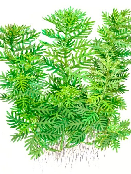 Hottonia palustris - buy Nature Aquarium Plants online