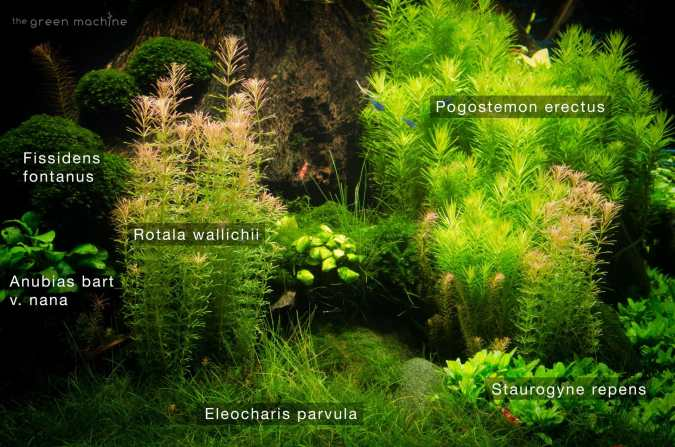 Image of Pogostemon erectus aquatic plant in Nature's Chaos aquascape