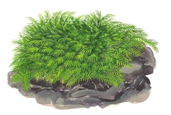 Fissidens fontanus Aquatic Plant Image