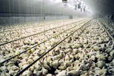 chicken farm intensive farming