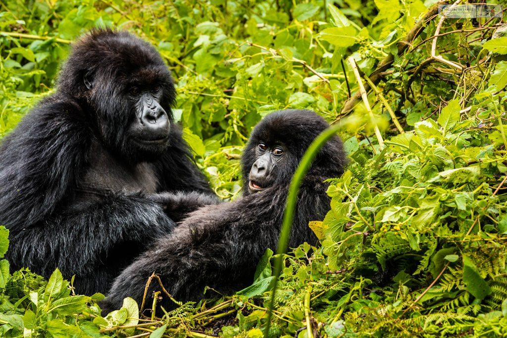 tourisme de la derniere chance safari gorilles uganda