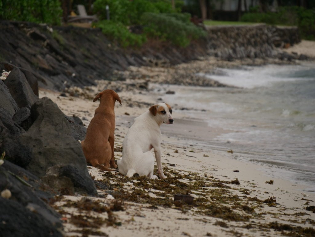 stray dogs mauritius