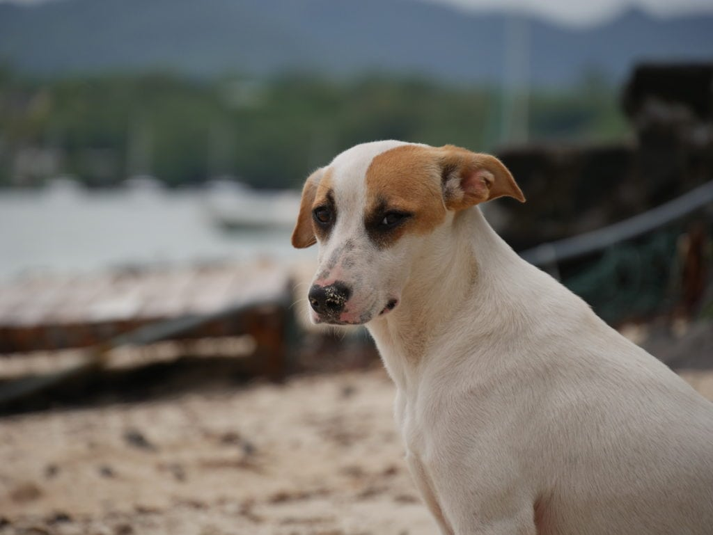 mauritius island stray dogs