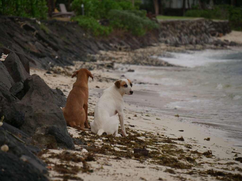 les chiens errants de l'île maurice