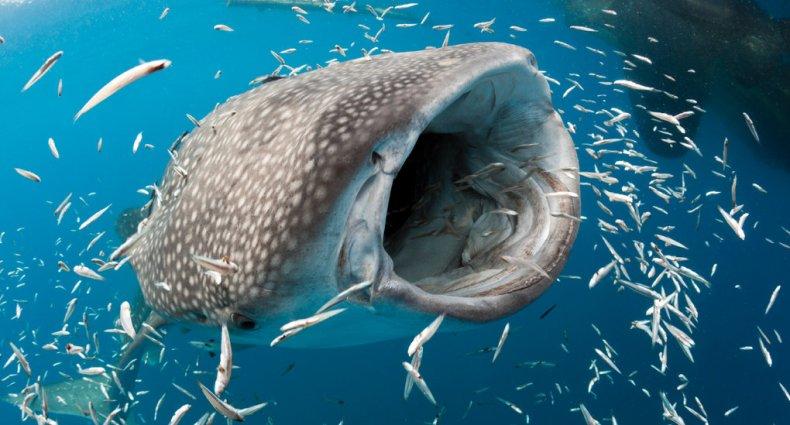 requin baleine qui mange poissons aspirateur