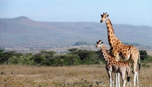 Un circuit au Kenya, une occasion de faire un safari mémorable