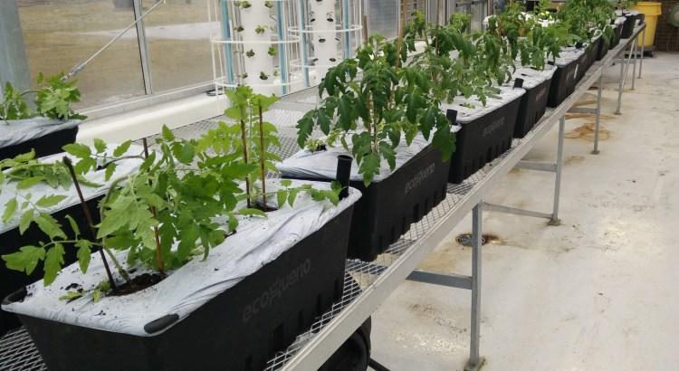 Caja planters in greenhouse