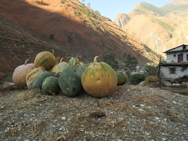 pumpkin in Dolpo