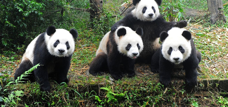 A mulatto of Pandas