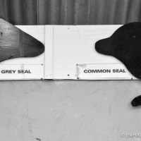 Grey seal v Common seal. Who nose the difference?