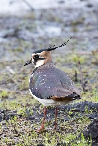 Lapwing - The Hall of Einar - photograph (c) David Bailey (not the)