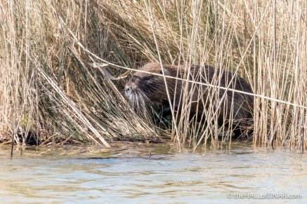 Coypu - The Hall of Einar - photograph (c) David Bailey (not the)