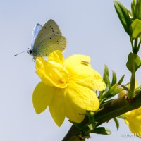 Holly Blue Butterfly, without the Holly