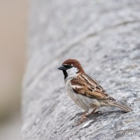 Italian Sparrows or Spanish Sparrows