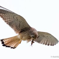 The Lesser Kestrels of Matera #1