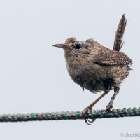 The Wren who hasn't been told