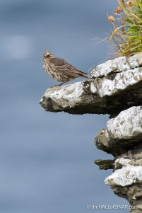 Pipit - The Hall of Einar - photograph (c) David Bailey (not the)