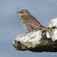 Rock Pipit, Meadow Pipit, Rock Pipit