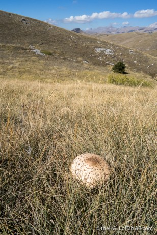 Parasol Mushrooms - The Hall of Einar - photograph (c) David Bailey (not the)