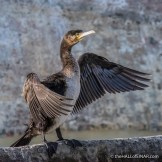 Cormorant on the Tiber - The Hall of Einar - photograph (c) David Bailey (not the)