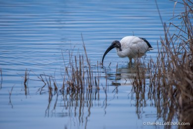 Sacred Ibis - The Hall of Einar - photograph (c) David Bailey (not the)