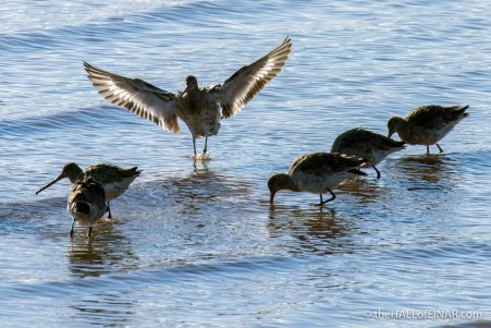 Black-Tailed Godwit - The Hall of Einar - photograph (c) David Bailey (not the)