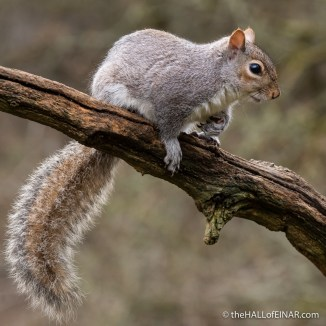 Grey Squirrel - The Hall of Einar - photograph (c) David Bailey (not the)
