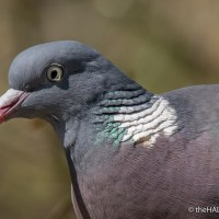 Wood Pigeons and Tunnicliffe's Brooke Bond Bird Portraits