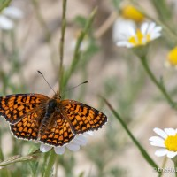 Knapweed Fritillaries