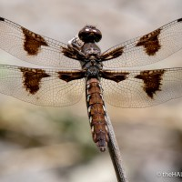 The Twelve-Spotted Skimmer