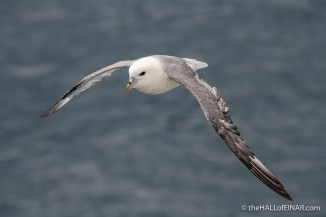 Fulmar - The Hall of Einar - photograph (c) David Bailey (not the)