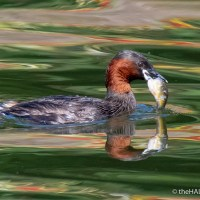 Little Grebe - big fish