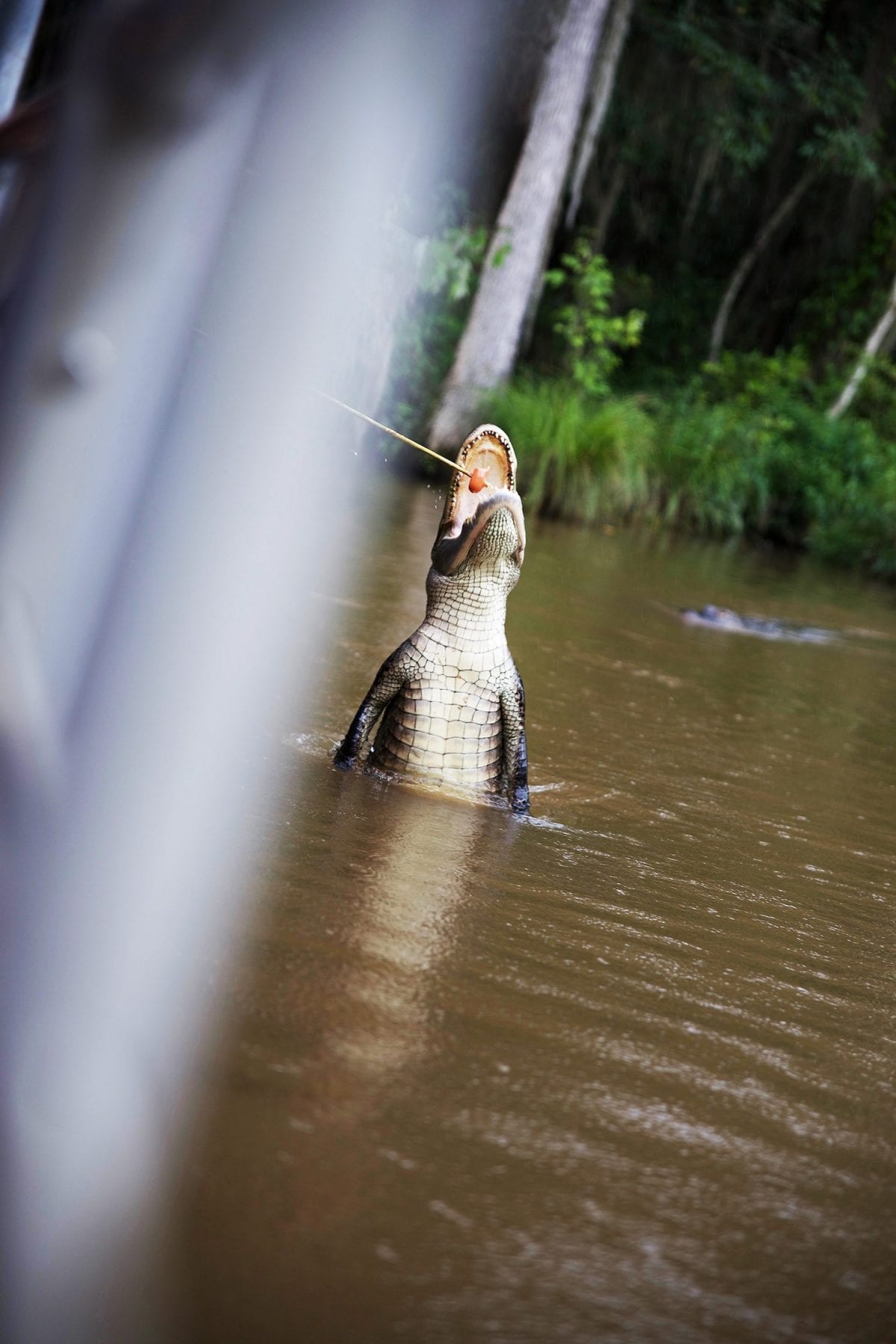Things to do in New Orleans - gator