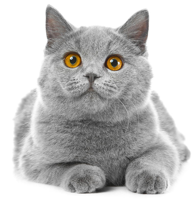 Image of: Kitten British Blue Kitten The Happy Cat Site British Blue Cats Complete Guide By The Happy Cat Site