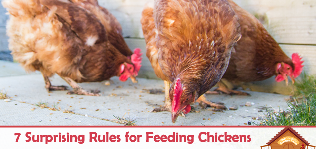 7 Surprising Rules for Feeding Chickens