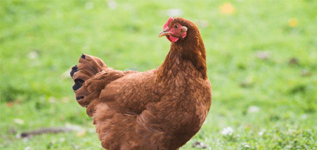Rhode Island Red Chicken Breeds