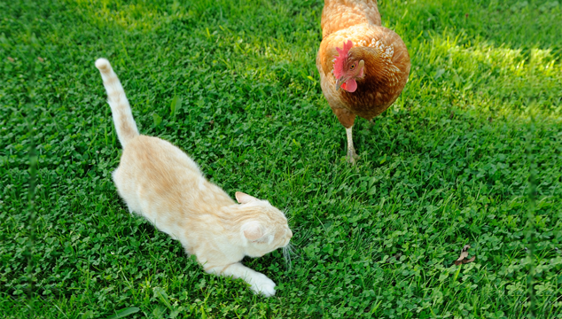 21 Tips Keeping Your Chickens Healthy And Safe From Predators