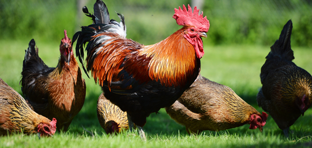 Rooster Moulting Issues