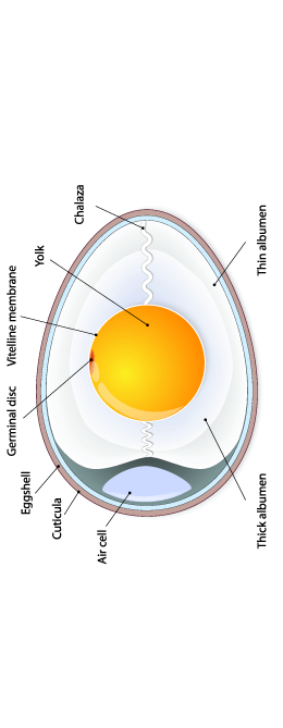 Egg Anatomy Diagram