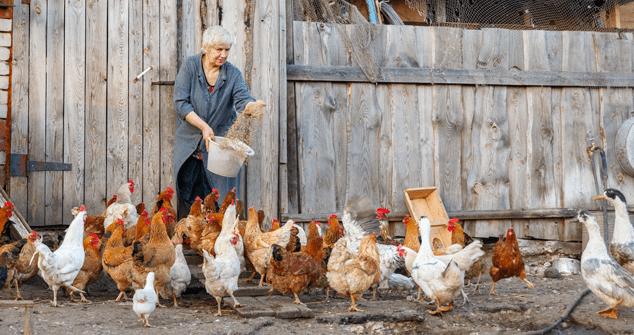 Feeding Chickens Commercial Grain